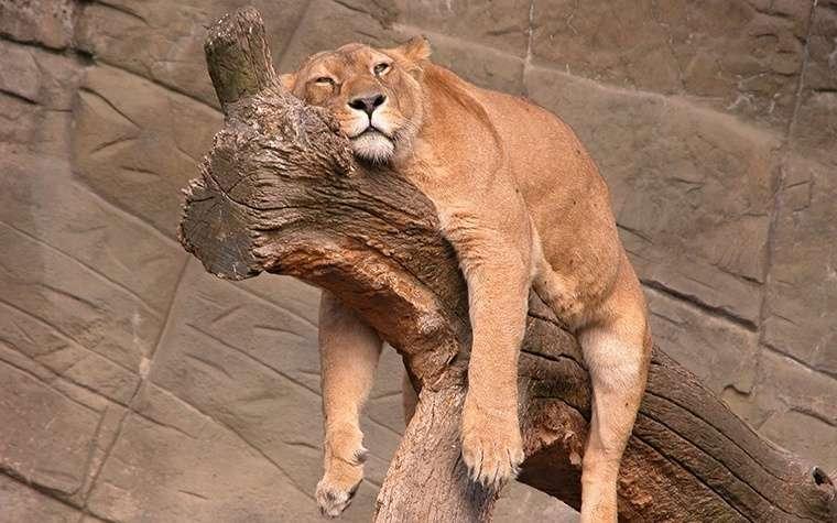 Lazy Lion Thumb